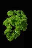 svart lockig parsleysprig Royaltyfria Bilder