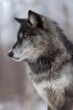Svart lodlinje för profil för fasGrey Wolf Canis lupus Royaltyfri Bild