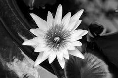 svart lotusblommawhite Royaltyfri Bild