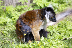 Svart maki, Eulemur M macaco ömsesidig håromsorg Arkivfoto