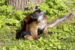 Svart maki, Eulemur M macaco kvinnlig med barn Arkivfoton