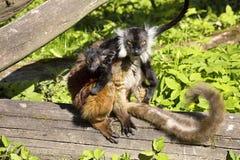 Svart maki, Eulemur M macaco kvinnlig med barn Royaltyfri Bild