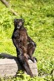 Svart maki för man, Eulemur M macaco Royaltyfri Fotografi