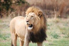 svart maned lionmanlig Royaltyfria Bilder