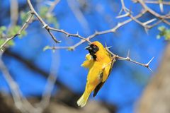 Svart maskerad vävare - afrikansk lös fågelbakgrund - akrobat för guld Royaltyfria Bilder