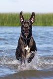 Svart mastiff royaltyfri fotografi