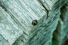 Svart med den röda prickiga harlekinnyckelpigan Att vila på kanten av en grå färg texturerade träpicknicktabellen royaltyfri foto