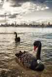 svart melbourne swan Royaltyfri Bild