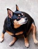 Svart miniatyrpinscherhund Arkivfoton