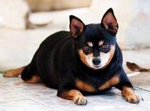 Svart miniatyrpinscherhund arkivbild