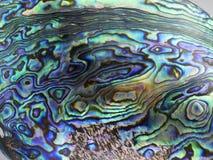 Svart moder av pärlan Shell Arkivfoto