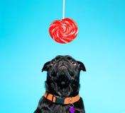Svart mops med lollypop Royaltyfria Bilder