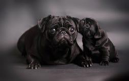Svart mopshund med valpen Royaltyfri Fotografi