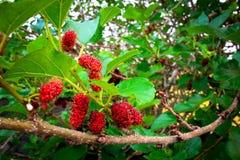 svart mullbärsträd Arkivbild