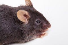 svart mus Arkivbild