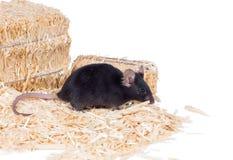 Svart mus på sågspånet Royaltyfri Foto