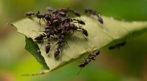 Svart myror arkivbilder