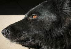 Svart närbild för hund för tysk herde royaltyfria bilder