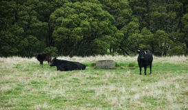 Svart nötkreatur, Angus kors i paddocken, Otway, Victoria, Australien, Augriculture, lantgårddjur, kor, kalvar royaltyfri fotografi