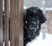 Svart Newfoundland hundanseende i en snöstorm med den ledsna framsidan royaltyfri fotografi