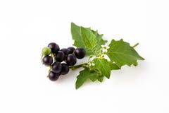Svart nightshade, frukter, sidor, giftig växt, vit backgro Arkivfoton