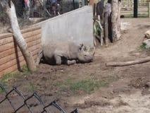 svart noshörning arkivbilder