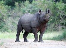 svart noshörning royaltyfria foton