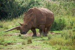Svart noshörning Royaltyfri Fotografi