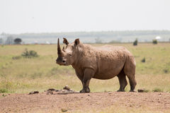 svart noshörning Royaltyfri Bild