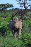 svart noshörning Fotografering för Bildbyråer