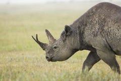 Svart noshörning (Dicerosbicornis) i Tanzania royaltyfria bilder