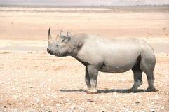 Svart noshörning - Etosha nationalpark arkivfoto