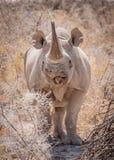 Svart noshörning för ensling, Etosha nationalpark, Namibia royaltyfria foton