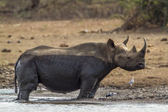 Svart noshörning i den Kruger nationalparken, Sydafrika Royaltyfria Bilder