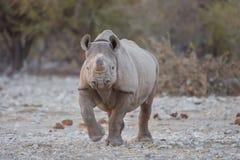 Svart noshörning med hornet som tas bort för att förhindra tjuvjaga arkivbild