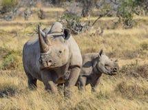 Svart noshörning och kalv Royaltyfri Bild