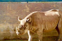 Svart noshörning San Diego Wild Animal Park Royaltyfri Bild