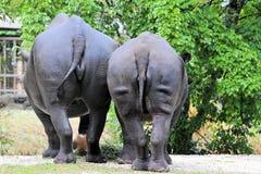 svart noshörning två Royaltyfri Bild