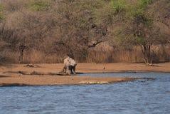 Svart noshörning vid sjön Royaltyfri Foto