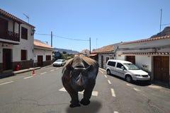 Svart noshörningspring till och med gatorna av en liten stad Fotografering för Bildbyråer