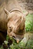 svart noshörning Arkivfoto