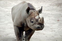 svart noshörning Arkivbild