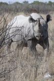 Svart noshörning i busken Arkivbild