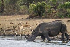 Svart noshörning i den Kruger nationalparken, Sydafrika Arkivfoto