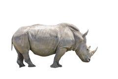 Svart noshörning som isoleras Arkivbild