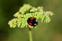 Svart nyckelpiga på den gröna växten i natur Arkivbilder