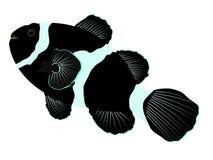 Svart ocellarisclownfishillustration stock illustrationer