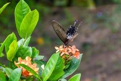 Svart och brun fjäril royaltyfri fotografi
