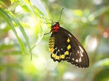 Svart och gul fjäril arkivbild