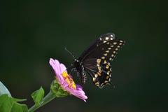 Svart och gul fjäril på purpurfärgad Zinnia royaltyfri fotografi